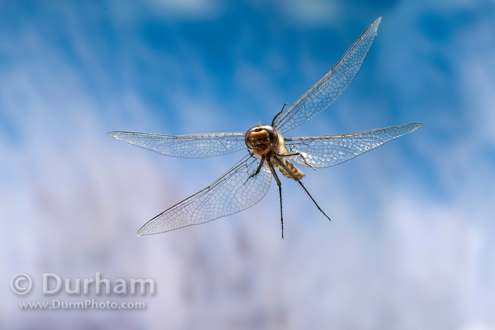 A high-speed image of a female spiny baskettail dragonfly (Epitheca spinigera) in flight, coastal mountain near Florence, Oregon. Over pond.