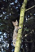 Nederland, Ubbergen, 18-9-2012Kat klimt in een boom.Foto: Flip Franssen/Hollandse Hoogte