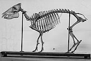 Mammal skeleton at Tulane's Natural History Museum.