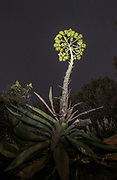 A Century Plant (Agave americana) blooming at night on the hillside