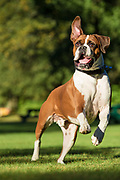 Riley the Boxer jumps for joy for his new baby sister.