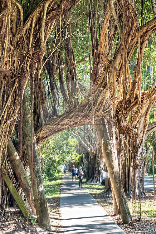 Banyan Tree Tunnel along Saint Lucie Blvd in Stuart, Florida.