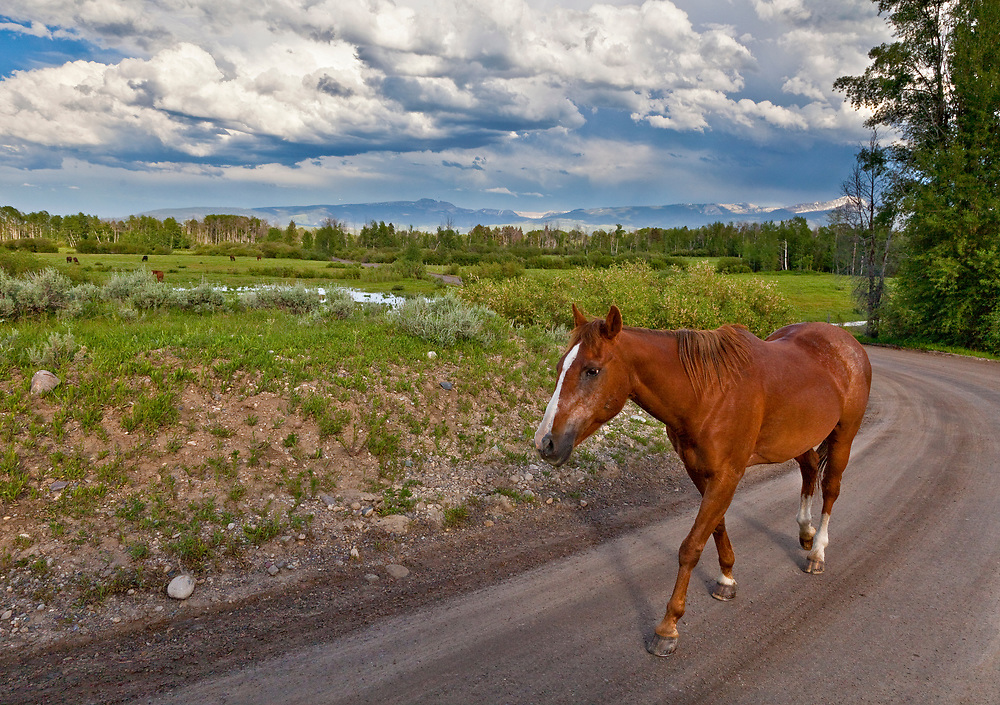 Beautiful Bay Horse moseys along dirt road near South Fork of Snake River and Teton Village near Jackson Hole Wyoming.  Licensing and Open Edition Prints.