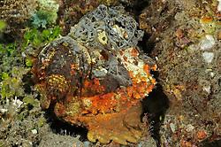 Synanceia horrida, Warzen Steinfisch, Kopf,  Estuarine Stonefish, head, Tulamben, Bali, Indonesien, Indopazifik, Indonesia, Asien, Indo-Pacific Ocean, Asia