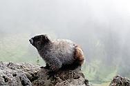 A Hoary Marmot (Marmota caligata) in Paradise Valley, Mount Rainier National Park, Washington.