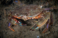 Swimming crab, Charybdis japonica, Zhifu Island (Chinese: 芝罘島), Shandong Province, China, byt the Bohai Sea, that is the inner part of the Yellow Sea where both the Yellow River and Hai He flow into.<br /><br />Conservation: The Yellow Sea is one of the most threatened marine areas on earth. Land reclamation has destructed more than 60% of tidal wetlands in only 50 years. Rapid coastal development for agriculture, aquaculture and industrial.development are primary drivers of coastal destruction in the region. In addition pollution, harmful algal blooms, invasion of introduced species are having a negative effect. There are 25 intentionally introduced species and 9 unintentionally introduced species in the Yellow Sea marine ecosystem.