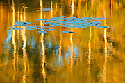 Water lily pads and birch trees reflected  in Middle Lake<br /> Kenora<br /> Ontario<br /> Canada