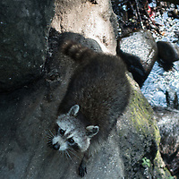 Raccoon in the Ramble of Central Park
