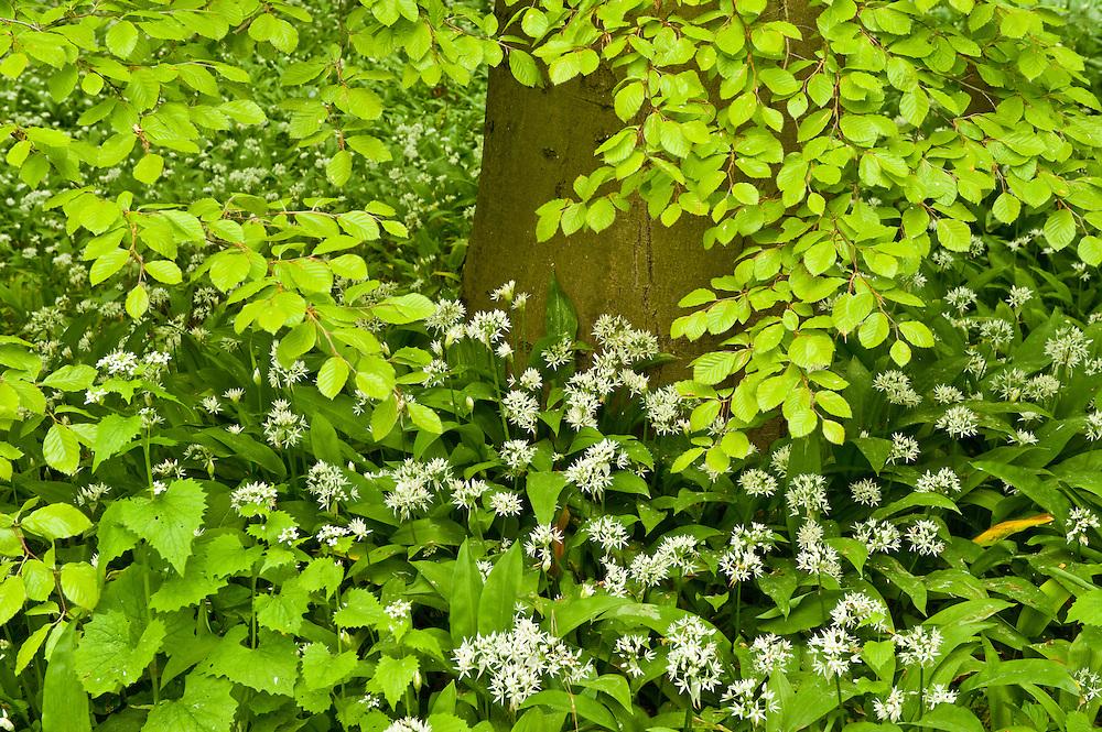 Beech tree and undergrowth in Hallerbos forest, Belgium