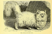 The Angora Cat From the book ' Royal Natural History ' Volume 1 Edited by  Richard Lydekker, Published in London by Frederick Warne & Co in 1893-1894