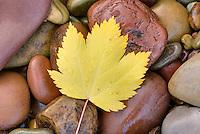 Fallen leaf on rocks alonfg the shore of Lake McDonald Glacier National Park Montana USA