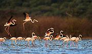 Greater flamingoes at Lake Bogoria, Kenya.