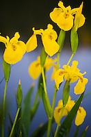 Yellow Iris (Iris pseudacorus), Camargue, France