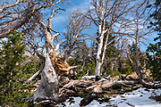 """Broken trees. Backpack to Big Sandy Lake Campground (11 miles round trip with 1000 feet gain). Day hike from Big Sandy Lake to Clear Lake and Deep Lake below East Temple Peak then loop back via Temple Lake, Miller Lake, and Rapid Lake (7.5 miles, 1060 ft gain) on the Continental Divide Trail. Wind River Range, Bridger-Teton National Forest, Rocky Mountains, Wyoming, USA. The Continental Divide follows the crest of the """"Winds"""". Mostly composed of granite batholiths formed deep within the earth over 1 billion years ago, the Wind River Range is one of the oldest mountain ranges in North America. These granite monoliths were uplifted, exposed by erosion, then carved by glaciers 500,000 years ago to form cirques and U-shaped valleys."""