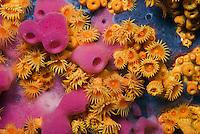Zoanthids (Parazoanthus axinellae) and sponge (Haliclona mediterranea)<br /> France: Corsica, Lavezzi Archipelago, Passage du Cavallo, 'Turtle Rock'