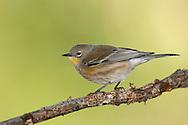 Yellow-rumped Warbler - Setophaga coronata (Audubon's) - Immature