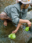 In the early morning, a vegetable grower washes lettuce in a small stream which flows into the nearby Nam Ou river, Sampan, Phongsaly province, Lao PDR. The banks of the Nam Ou river in Sampan are lined with recession planting - advancing as the dry season sets in and the river's level drops, receding as the rains come and it rises once again.
