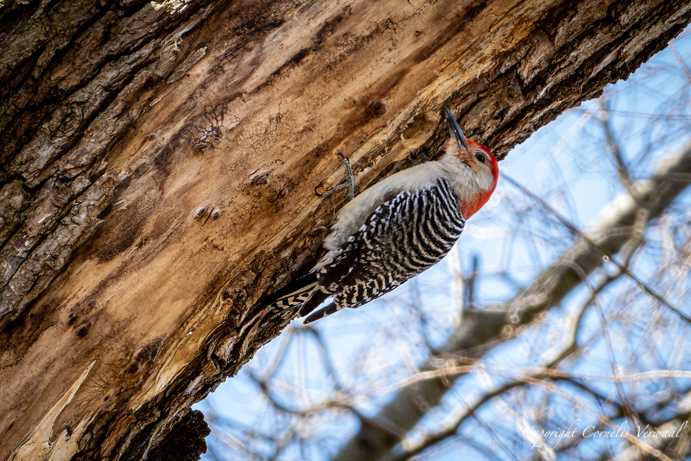 A red-bellied woodpecker near Turtle Pond in Central Park