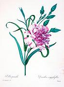19th-century hand painted Engraving illustration of a oeillet panache (variegated carnation or Garden carnation) flower, by Pierre-Joseph Redoute. Published in Choix Des Plus Belles Fleurs, Paris (1827). by Redouté, Pierre Joseph, 1759-1840.; Chapuis, Jean Baptiste.; Ernest Panckoucke.; Langois, Dr.; Bessin, R.; Victor, fl. ca. 1820-1850.