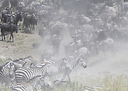 Plains zebra (Equus quagga, formerly Equus burchellii) and blue wildebeest (Connochaetes taurinus) mill around creating clouds of dust by the  Mara River during their migration in search of fresh grazing between the Masai Mara National Park in Kenya and the Serengeti National Park in Tanzania. Serengeti National Park, Tanzania.