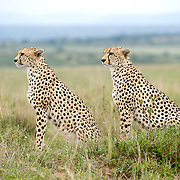 Cheetah (Acinonyx jubatus) Two siblings. Serengeti Plains. Masai Mara Game Reserve. Kenya. Africa.