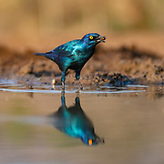 Greater blue-eared starling (Lamprotornis chalybaeus) from Zimanga, South Africa.
