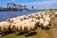 Europa, Deutschland, Koeln, Schafe auf den Rheinwiesen in Deutz, die Kranhaeuser im Rheinauhafen, im Hintergrund der Dom und die Severinsbruecke.<br />