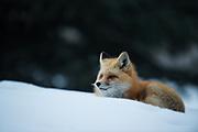 Red Fox in Aspen CO