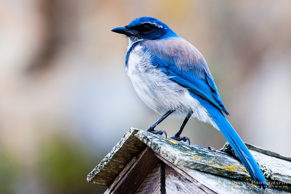 US, California, Point Lobos State Natural Reserve. A blue and white Western Scrub Jay.