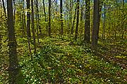 large flowered trillium (Trillium grandiflorum) in hardwood forest in spring<br />Six mile Lake Provincial Park<br />Ontario<br />Canada