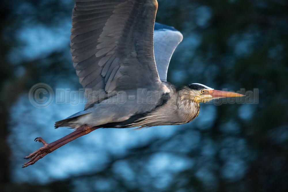 Escaping Grey Heron with blue background | Gråhegre i flukt på blå bakgrunn