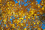 Golden  birch leaves backlit against a blue autumn sky, Bubble Pond, Acadia National Park, Maine.