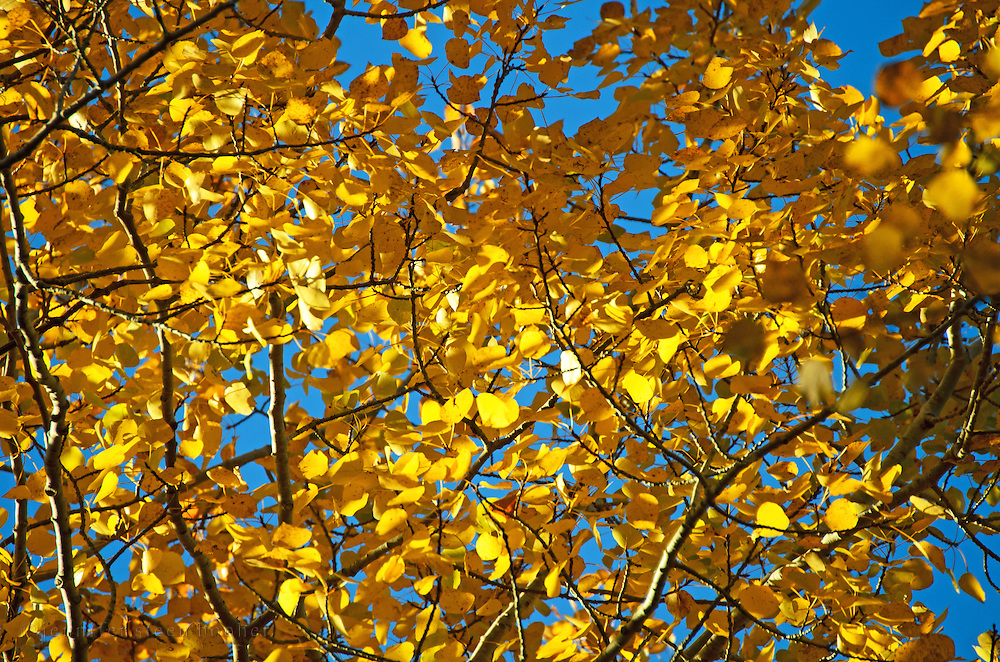 Golden  birch leaves backlit against a blue autumn sky, Bubble Pond, Acadia National Park, Maine.