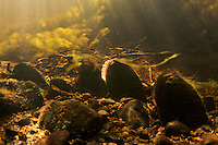 Freshwater pearl mussel (Margaritifera margaritifera)<br /> Umeälven tributary, Sweden<br /> Flussperlmuschel (Margaritifera margaritifera)<br /> Nebenfluss Umeälven, Schweden<br /> Moule perlière d'eau douce (Margaritifera margaritifera)<br /> Affluent Umeälven, Suède<br /> 26-07-2008