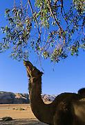 Camel eating from one of the few trees in the desert - Wadi Rum, Jordan.