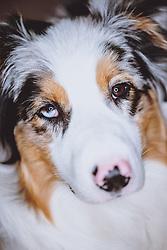 THEMENBILD - Portrait eines Australian Shepherd, aufgenommen am 20. März 2021, Kaprun, Österreich // Portrait of an Australian Shepherd, Kaprun, Austria on 2021/03/20. EXPA Pictures © 2021, PhotoCredit: EXPA/ JFK