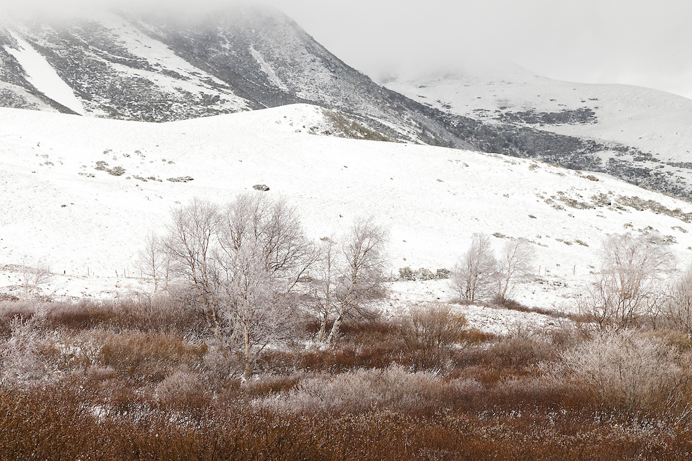 Group of Birch tree (Betulaceae) with frost on the branches and  bushes in the front and hills in the background covered with snow.