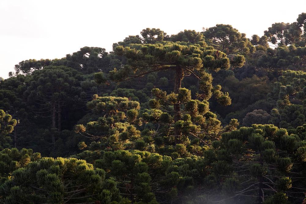 Camanducaia_MG, Brasil...Araucaria em Monte Verde...Araucaria in Monte Verde...Foto: LEO DRUMOND / NITRO.....
