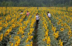 June 13, 2017 - Shijiazhuang, China - Tourists walk in the oil sunflower field in Zhaoxi Village of Zhaoqiao Township in Wuyi County, north China's Hebei Province. (Credit Image: ©Yuanmen/Xinhua via ZUMA Wire)
