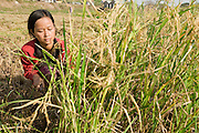 16 MARCH 2006 - KAMPONG CHAM, KAMPONG CHAM, CAMBODIA: A woman harvests rice near the city of Kampong Cham on the Mekong River in central Cambodia. Rice in this part of Cambodia is still harvested largely by hand. PHOTO BY JACK KURTZ