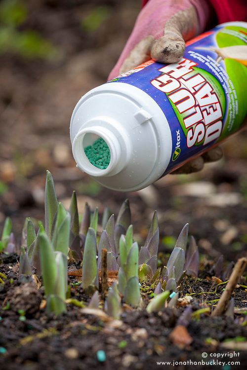 Protecting emerging shoots of hostas from slugs and snails with organic slug pellets.