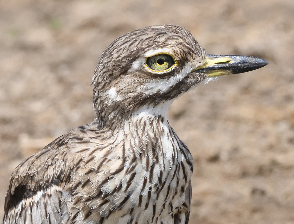 A water thick-knee (Burhinus vermiculatus) or water dikkop on the banks of the Kazinga Channel between Lake George and Lake Edward. Queen Elizabeth National Park, Uganda.
