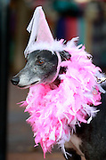 Matilda the greyhound dressed as a princess during the 7th annual Doggie Howl-O-Ween event Thursday night on the Downtown Mall in Charlottesville, VA. Over 20 Downtown businesses participated in the event that included a Doggie parade and Doggie costume contest. Photo/Andrew Shurtleff