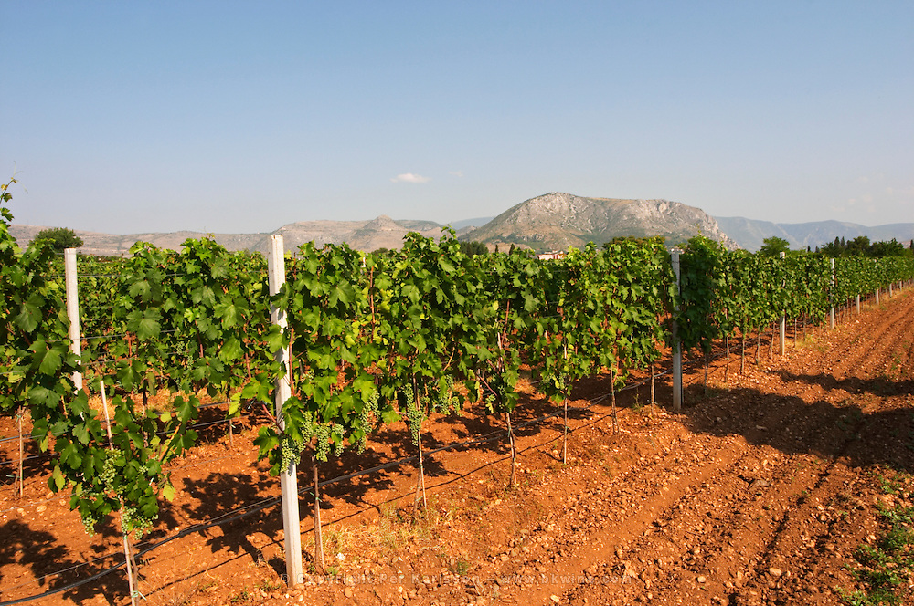 The vineyard with vines on the plain near Mostar with the mountain range in the background. Irrigation watering installation. Vranac grape variety. Typical red reddish clay sand sandy soil mixed with pebbles rocks stones in varying amount. Vineyard on the plain near Mostar city. Hercegovina Vino, Mostar. Federation Bosne i Hercegovine. Bosnia Herzegovina, Europe.