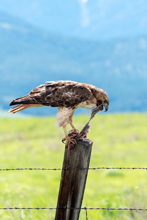 Red-tailed hawk (Buteo jamaicensis) eating a rodent, Zumwalt Prairie, Oregon.
