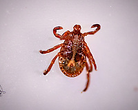 Tick. Image taken with a Fuji X-T3 camera and 80 mm f/2.8 macro OIS lens