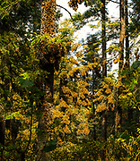 Monarchs roost on oyamel fir trees in the Sierra Madre Mountains of central Mexico, from late October to early March.
