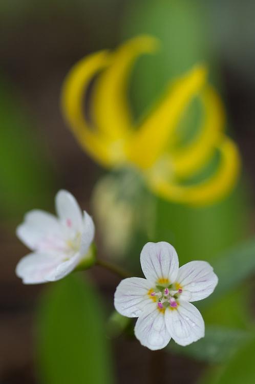 Spring beauty (Claytonia lanceolata) and glacier lily (Erythronium grandiflorum) May, Methow River Valley, Okanogan County, Washington, USA