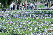 Israel, A field of spring wildflowers Anemone coronaria (Poppy Anemone). This wildflower can appear in several colours. Mainly red, purple, blue and white. A group of local people admire the field. Photographed near Megido, Galilee, Israel in February