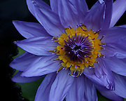 Image of a purple water lily